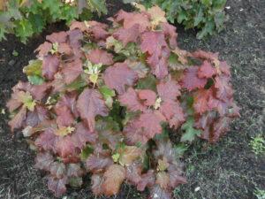 Hydrangea quercifolia 'Snowflake'.