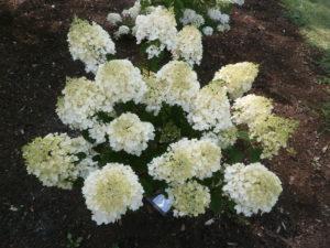 Šluotelinė hortenzija 'Silver Dollar'
