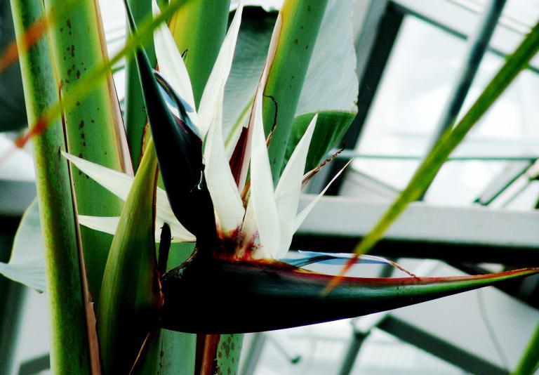 į varpą panašus augalas smarkiai krito erekcija