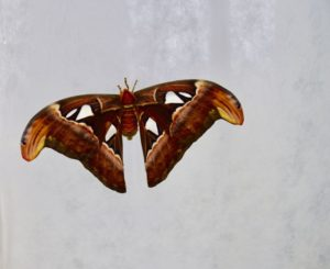 attacus-atlas