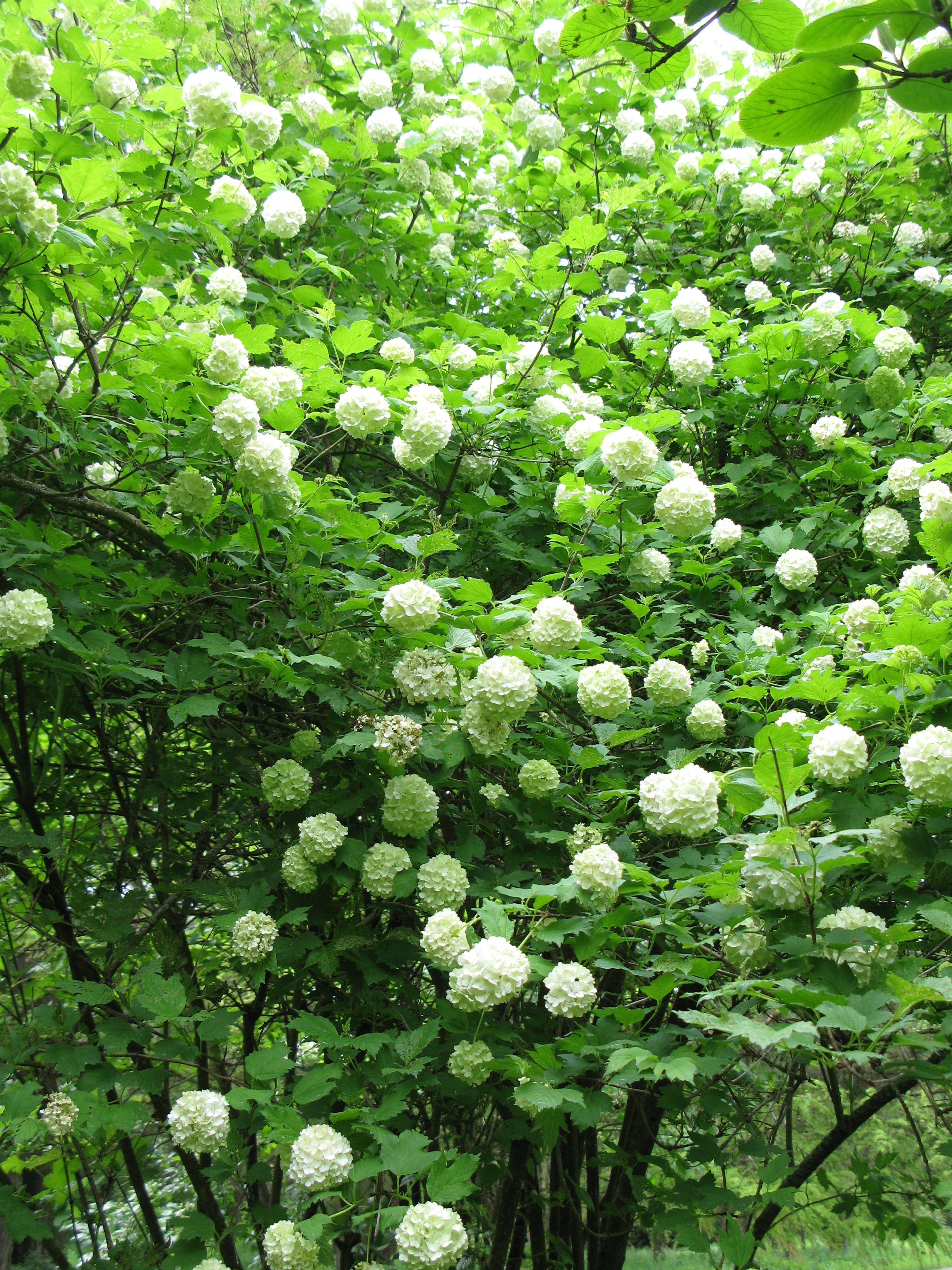 viburnum opulus roseum am vdu botanikos sodas. Black Bedroom Furniture Sets. Home Design Ideas